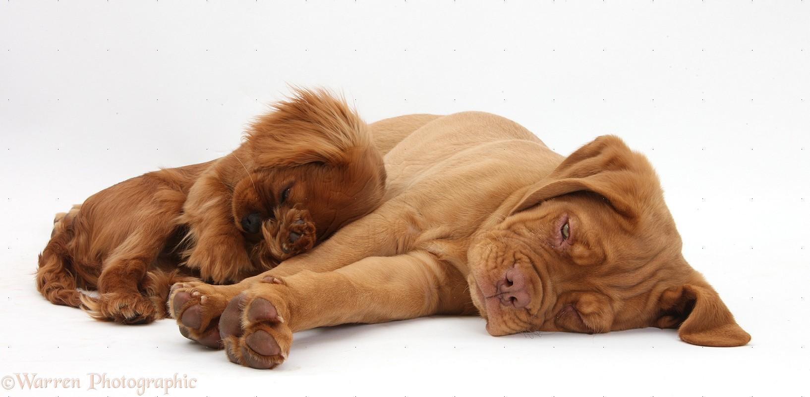Dogue de Bordeaux pup and ruby Cavalier photo WP33920