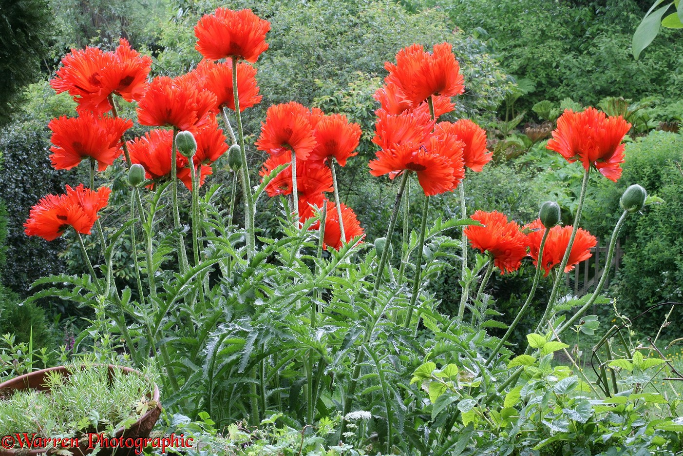 Red Oriental Poppies Photo Wp33962