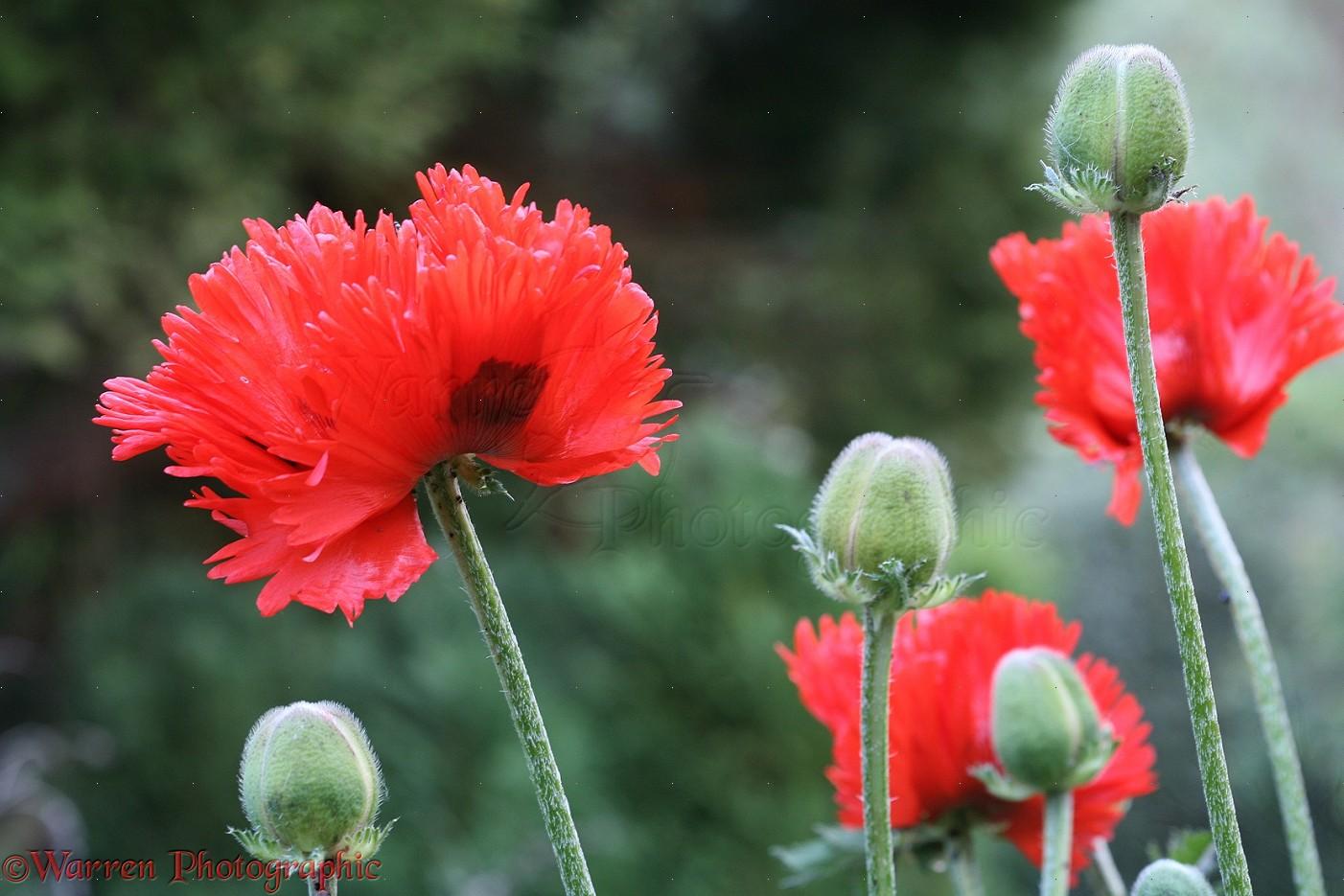 Red oriental poppies photo wp33964 red oriental poppy papaver orientale flowers mightylinksfo