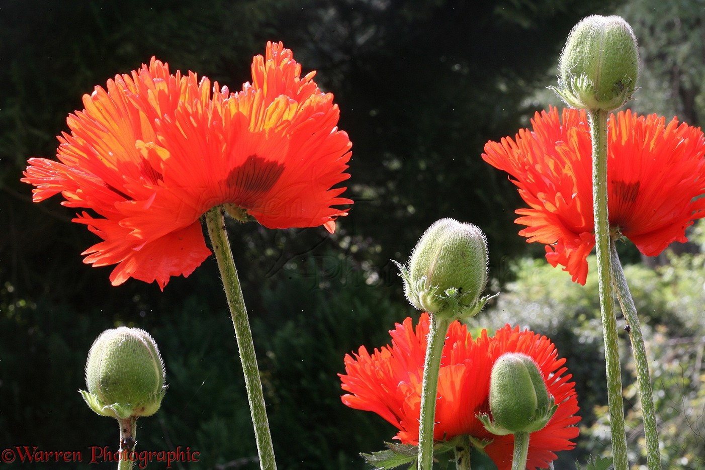 Red Oriental Poppies Photo Wp33965