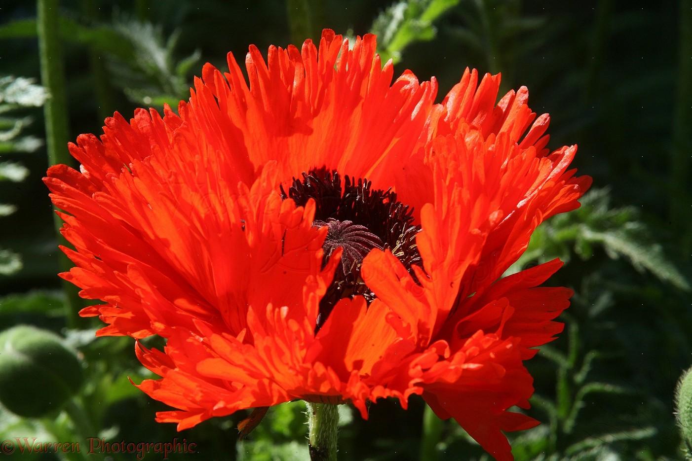 Red Oriental Poppy Photo Wp33966
