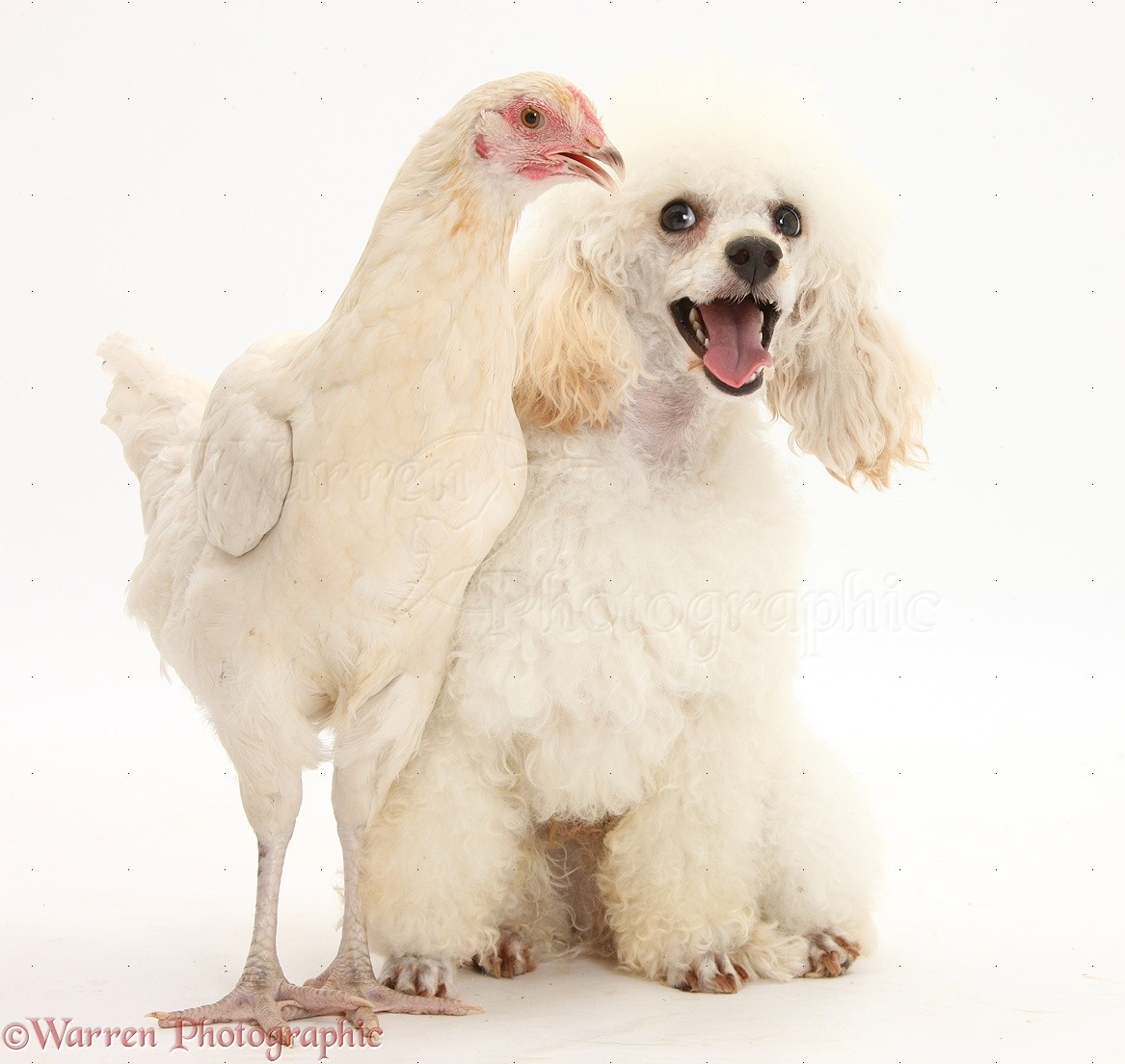 Dog And Chicken Video