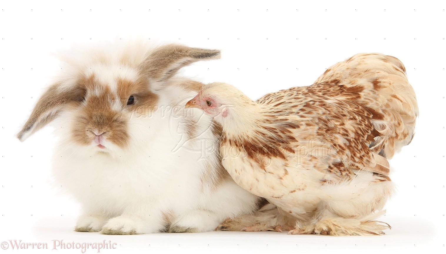 WP34057 Bantam chicken and rabbit.