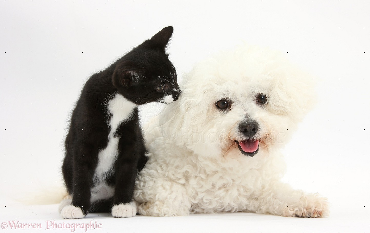 34109 bichon frise and black and white kitten white background