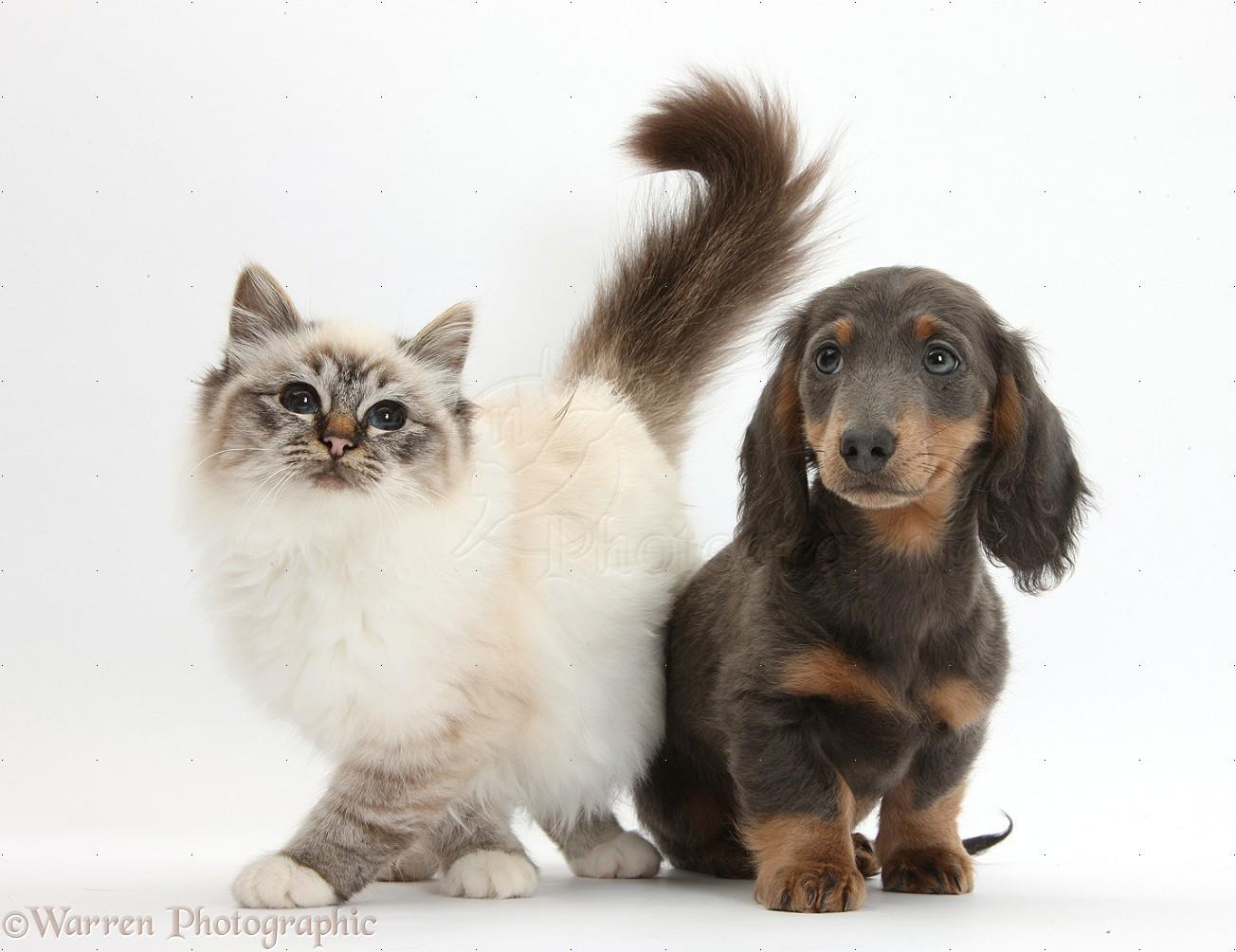 Blue Cat Dog
