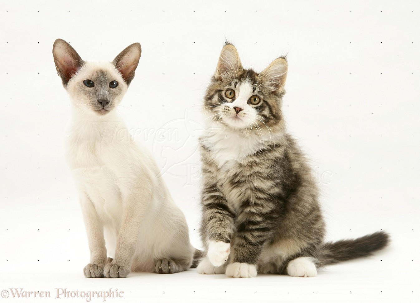 Maine coon siamese mix kittens