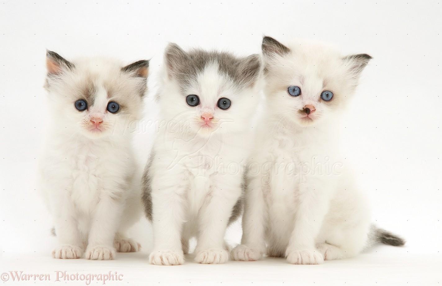 Wp34239 three birman cross kittens