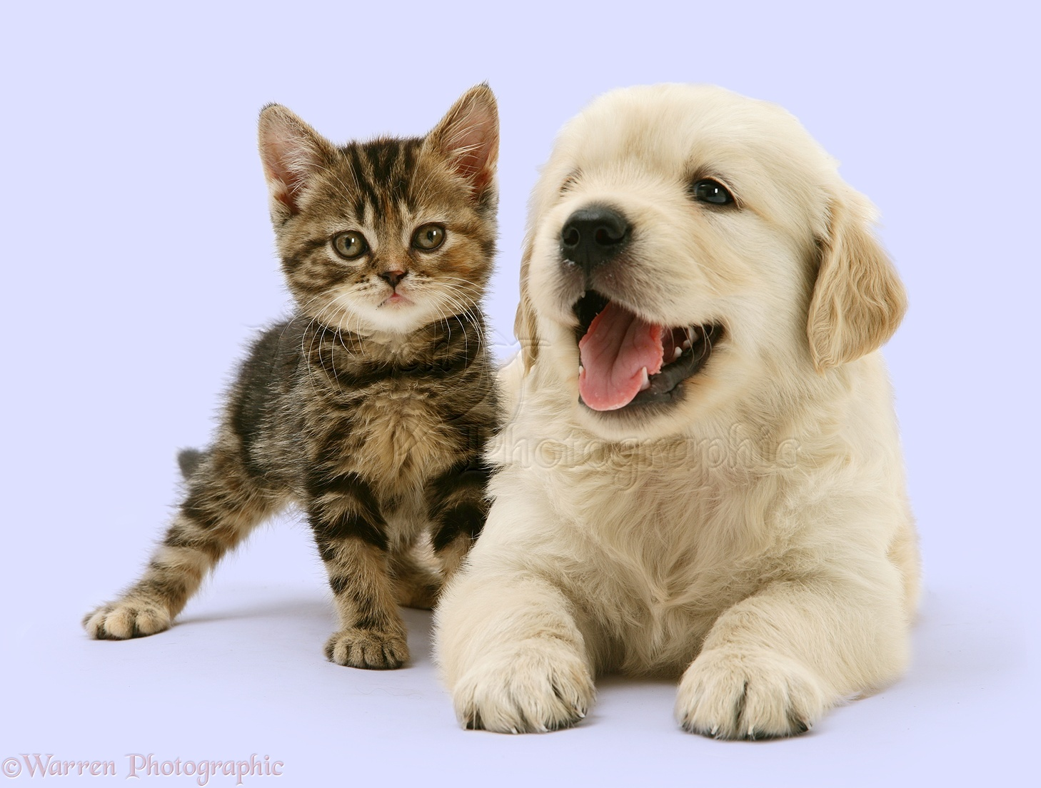 Pets Tabby Kitten and Golden Retriever puppy photo WP