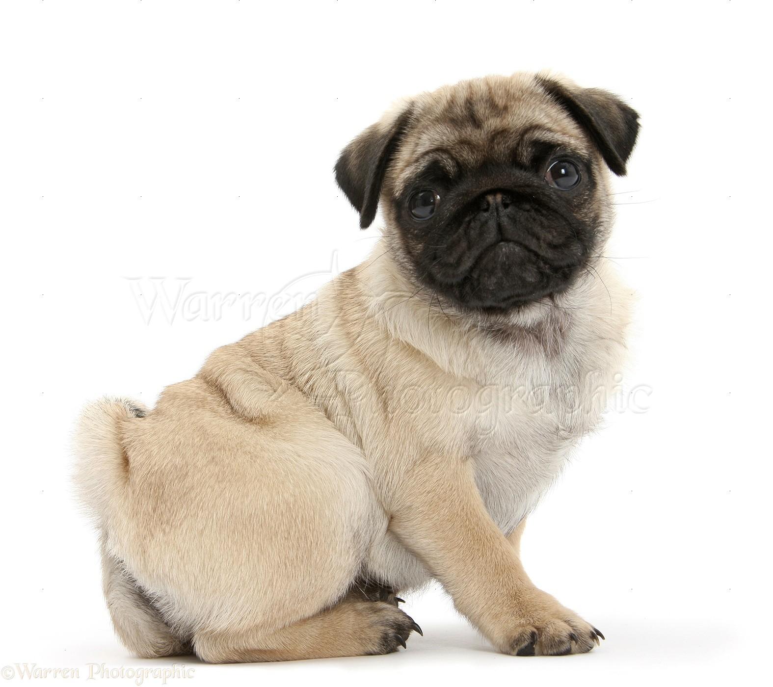 pug puppies #9