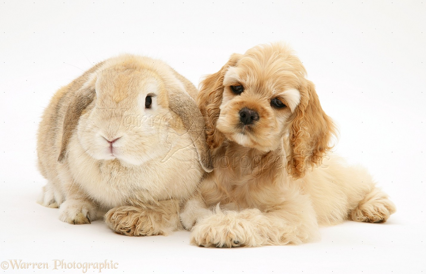 Pets: Buff American Cocker Spaniel pup with rabbit photo ...