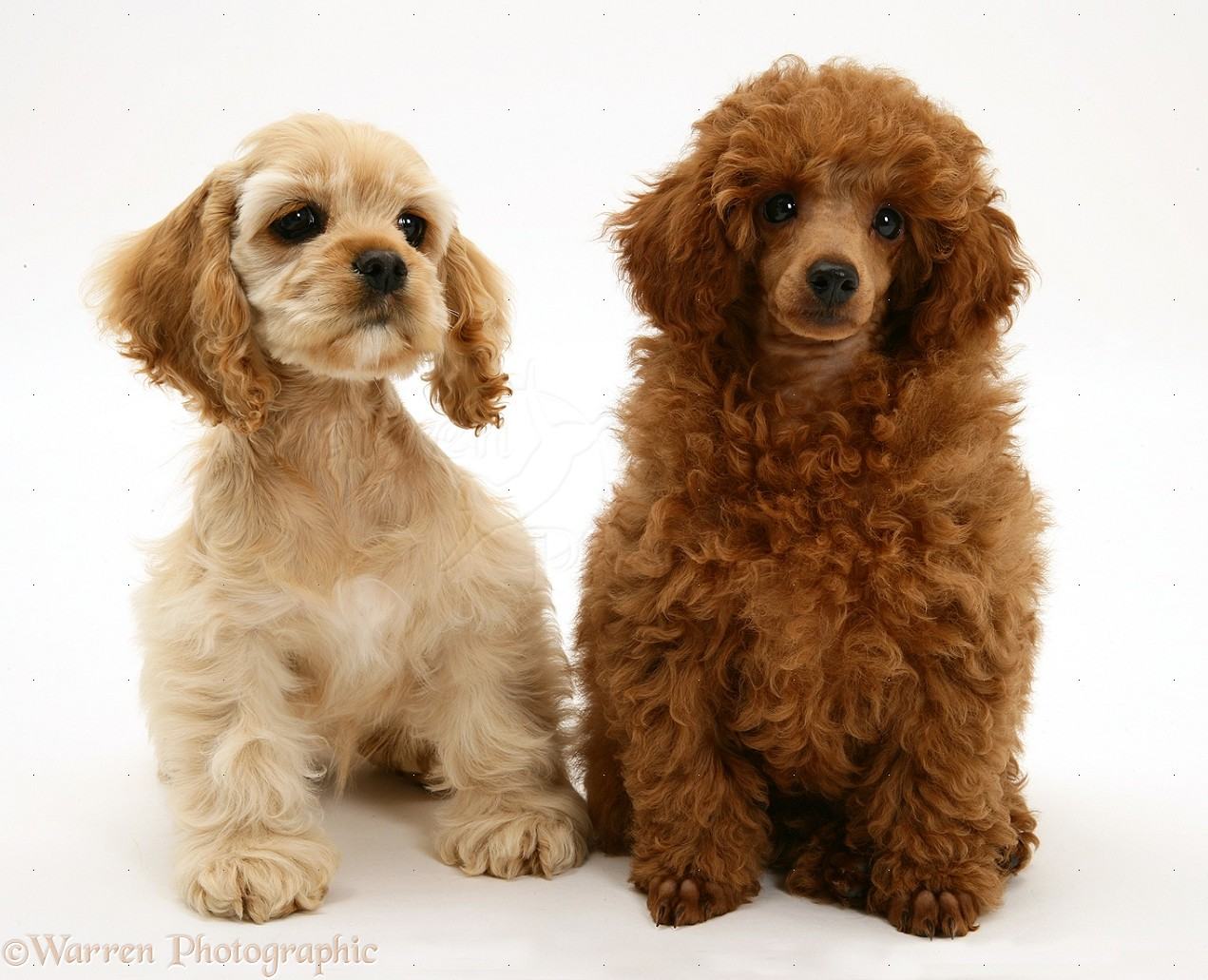 WP34274 Red Toy Poodle pup, Reggie , 12 weeks old, with buff American ...
