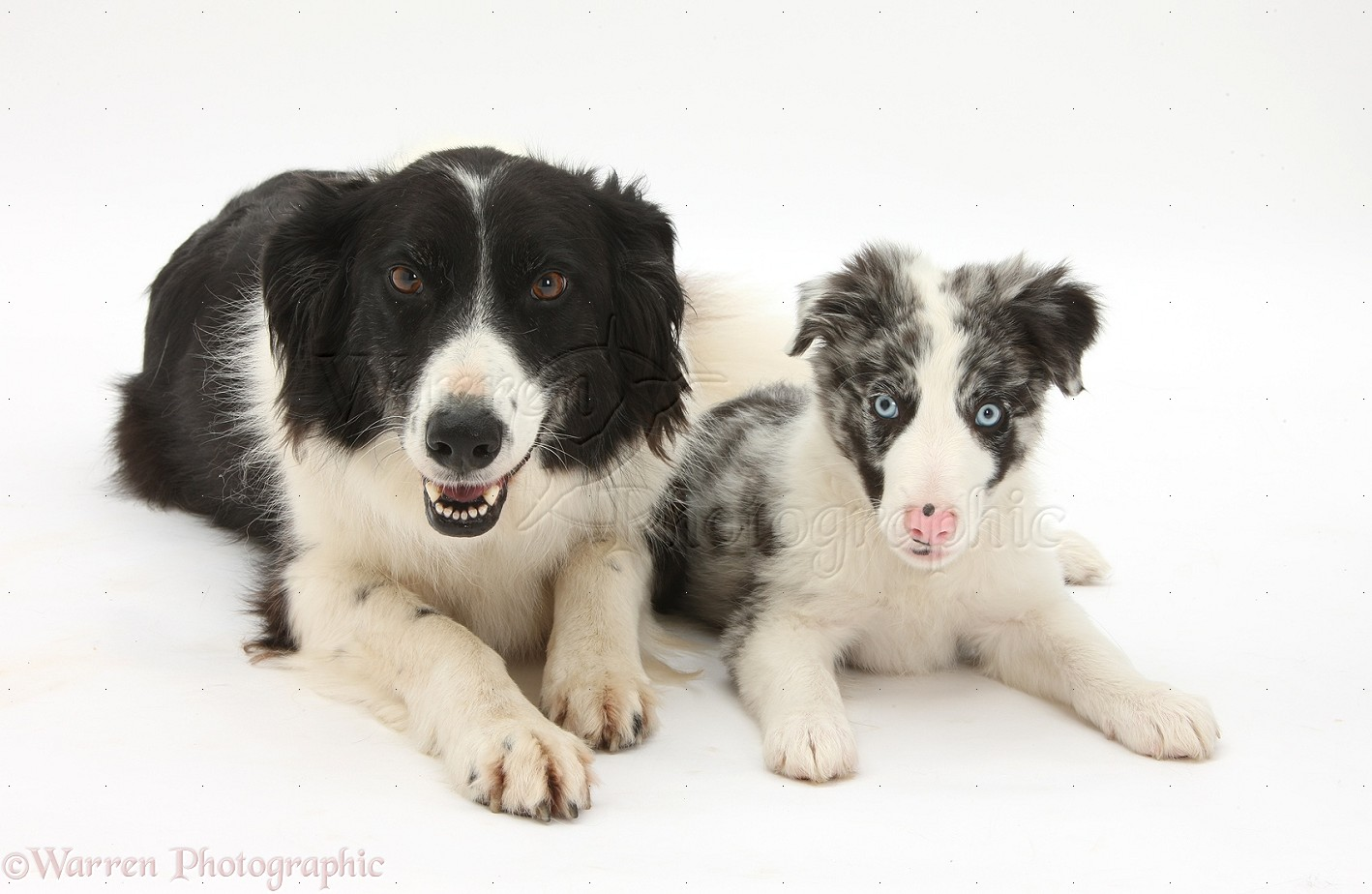 Dogs Black And White Border Collie Photo Wp34278