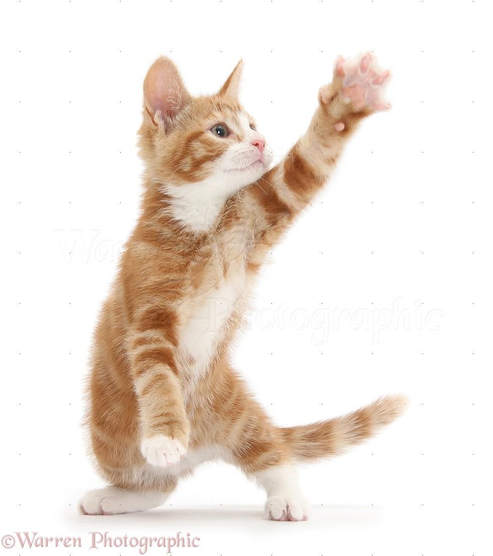 White Cat Reaching