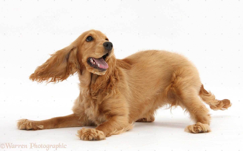 11 Best Golden cocker spaniel photos