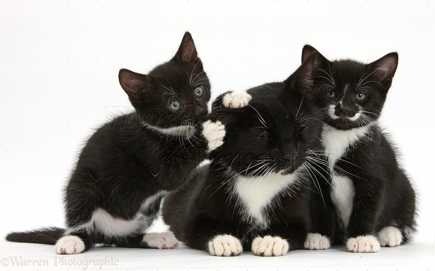 Black and white mother cat and kittens photo WP