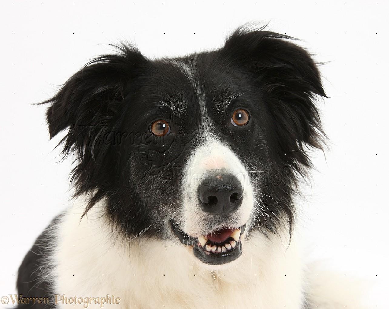 Dog: Black-and-white Border Collie photo WP34525