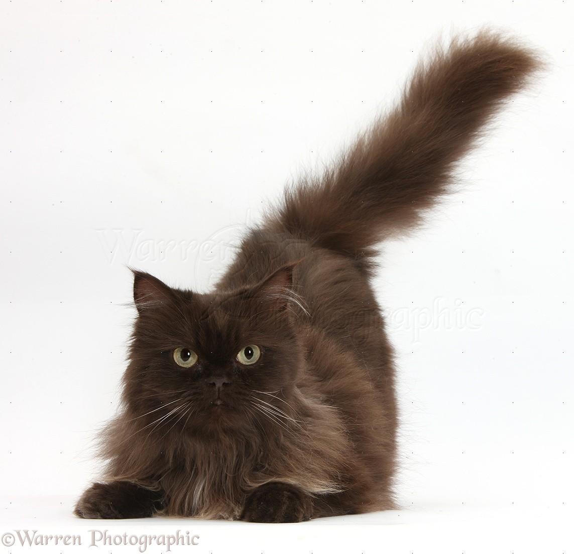 Chocolate cat photo - WP34551