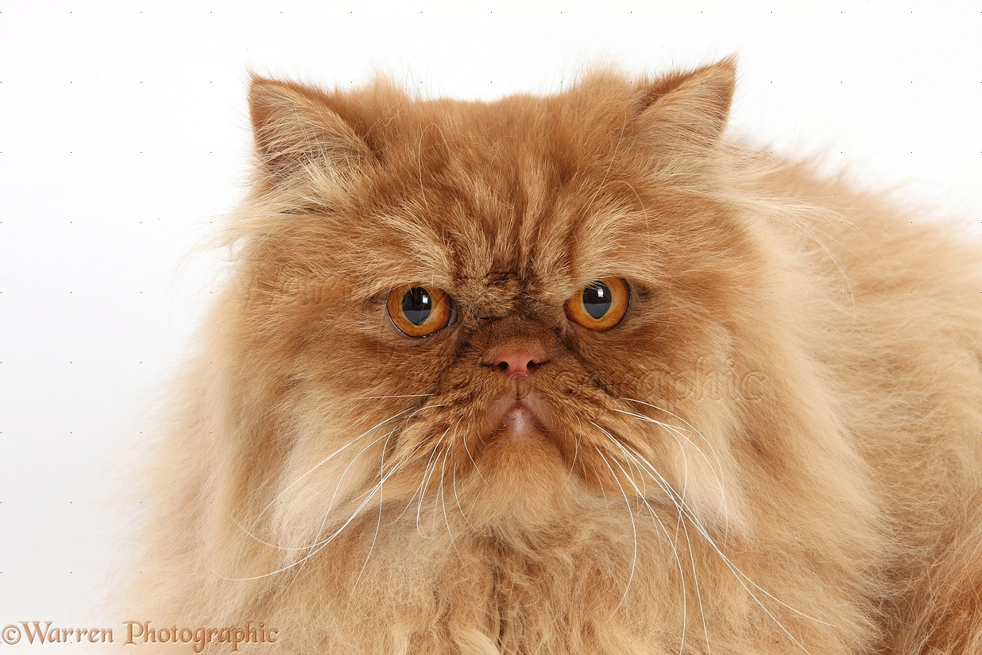Persian Cats Pictures White