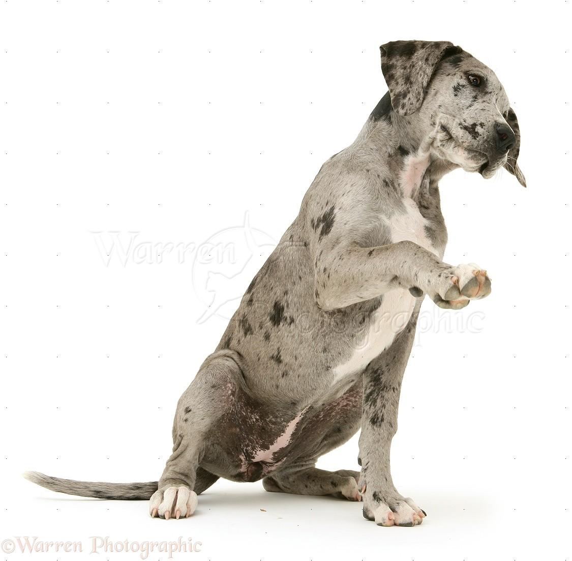 Dog Great Dane Pup Photo Wp34623