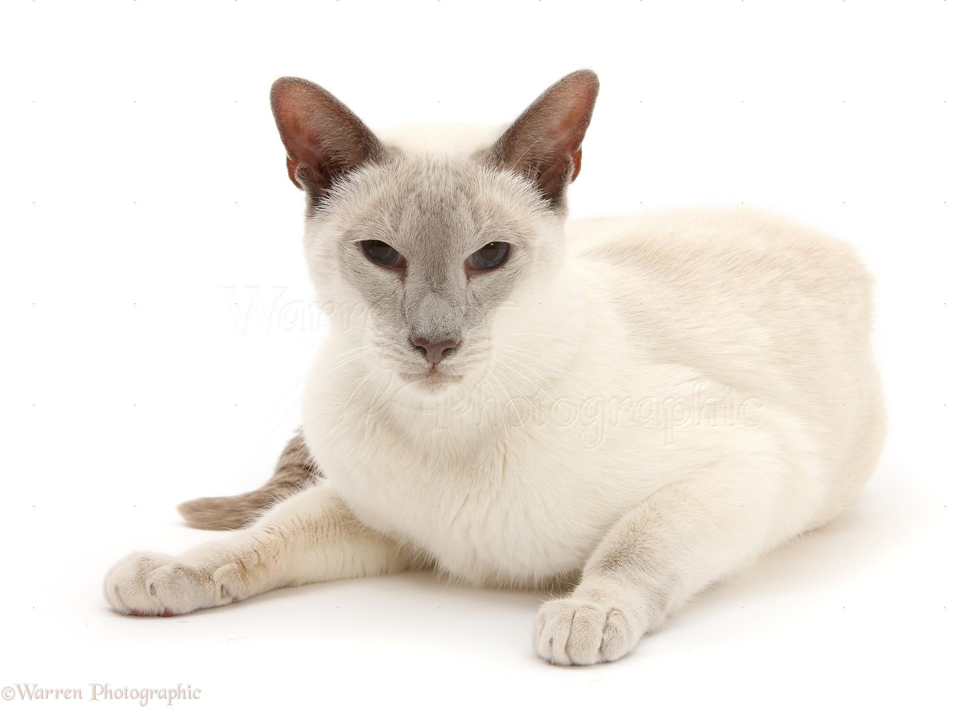 little-siamese-cat live-fußball williamhill sehen wie mein williamhill bonus zu nutzen - Cats Wallpaper william hill bet in play