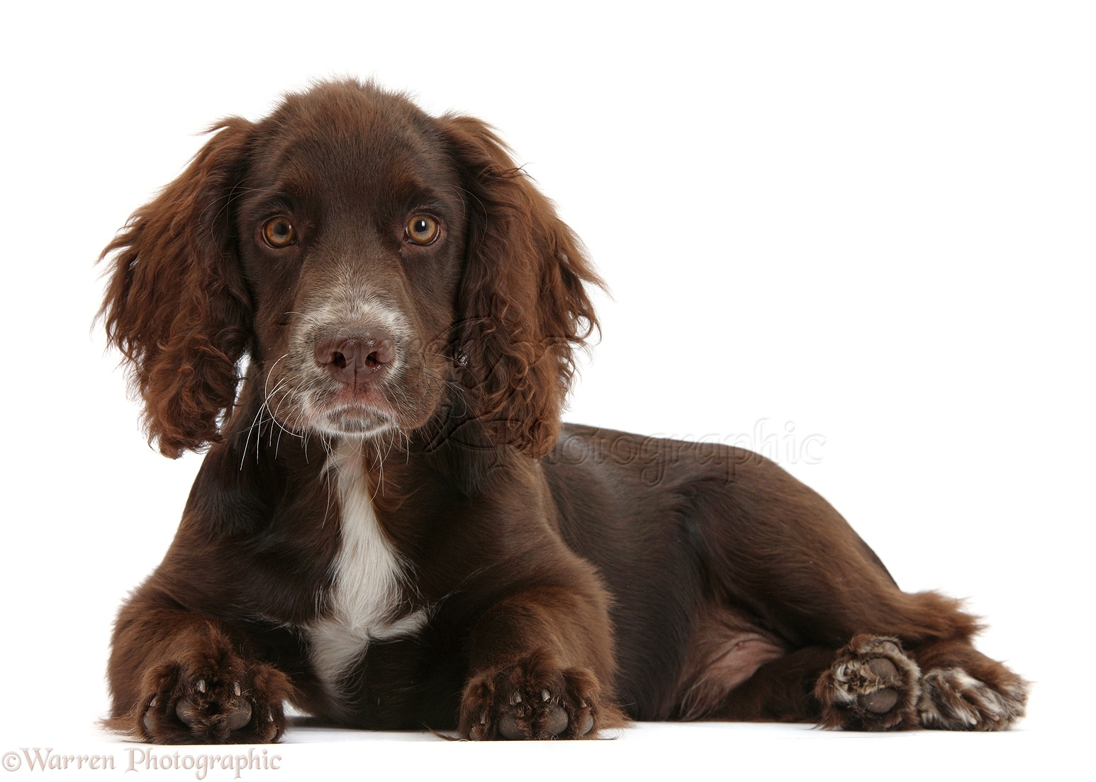 Dog: Chocolate Cocker Spaniel pup photo - WP34665