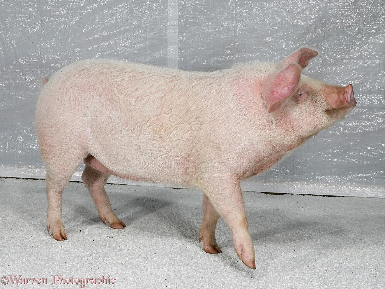 Pink piglets - photo#19