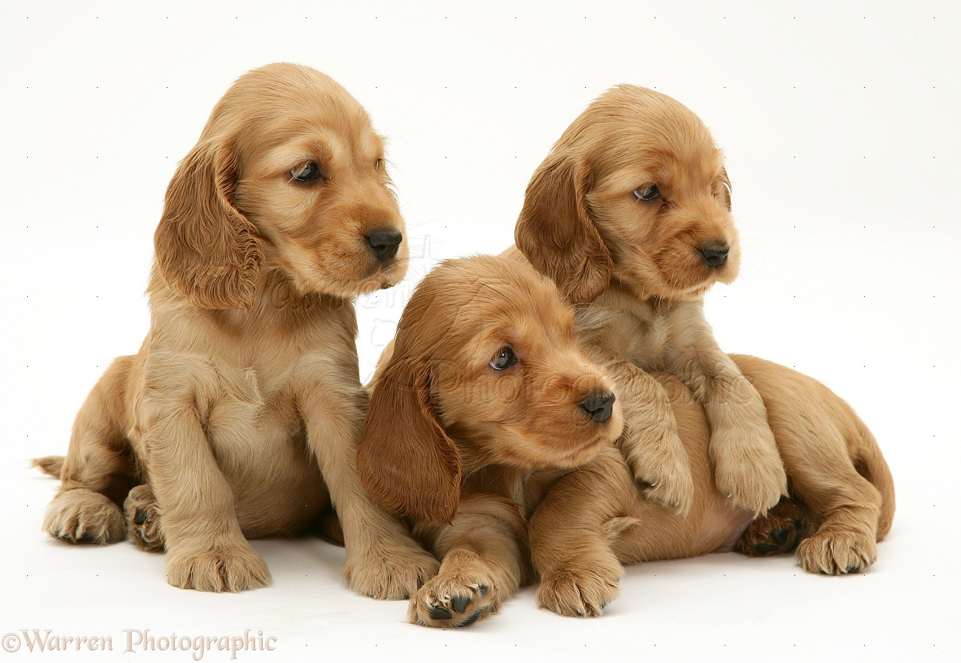 Dogs  Three Golden Cocker Spaniel pups photo - WP34685Golden Cocker Puppies
