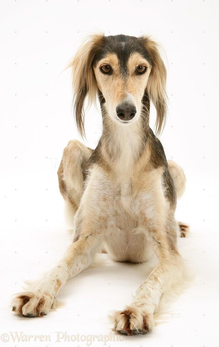 Dog Saluki Lying Head Up Photo Wp34695