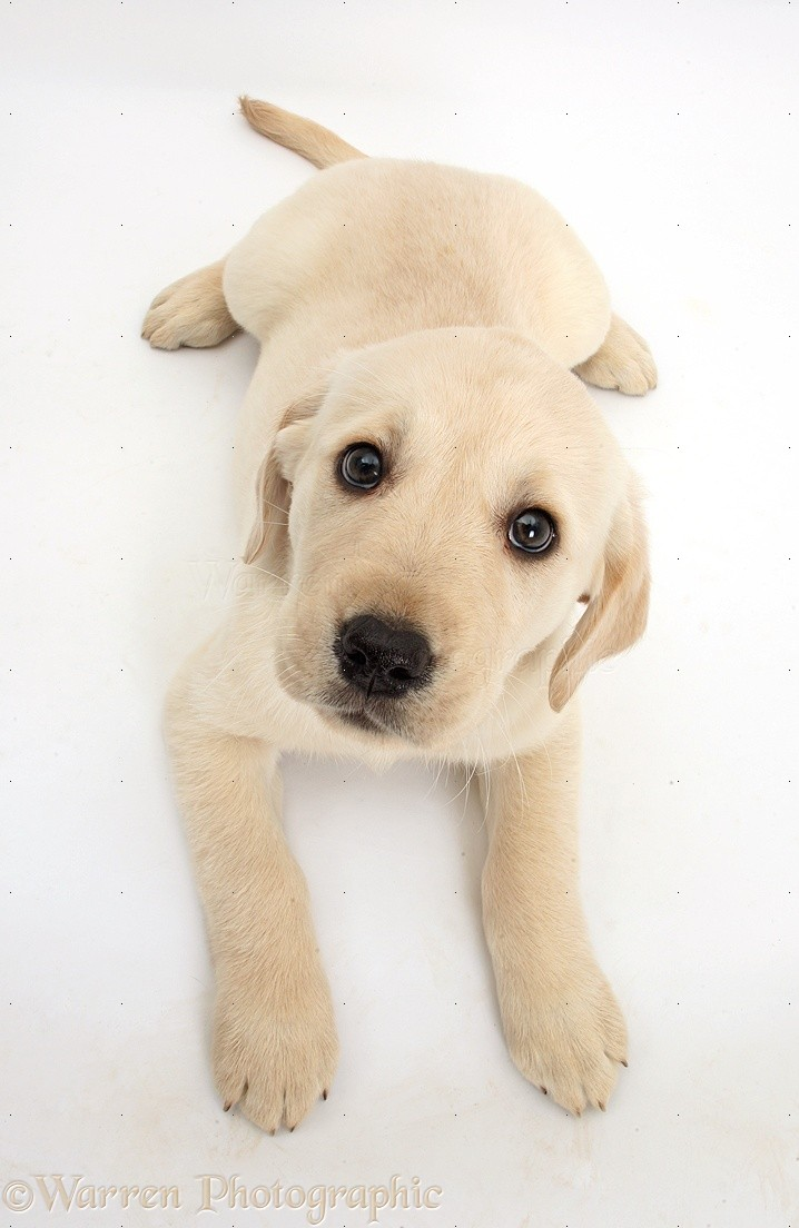 Dog: Yellow Labrador Retriever puppy looking up photo WP34827