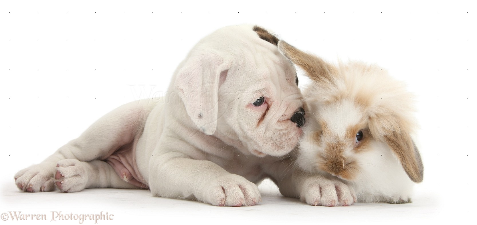 152 Best Easter Dogs images   Dogs, Easter, Cute animals  Boxer Dogs With Bunnies