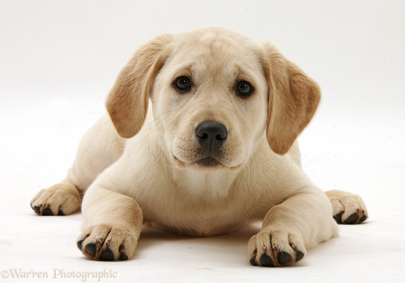 WP34882 Yellow Labrador Retriever pup  3 months old  lying with head    White And Yellow Labrador Retriever