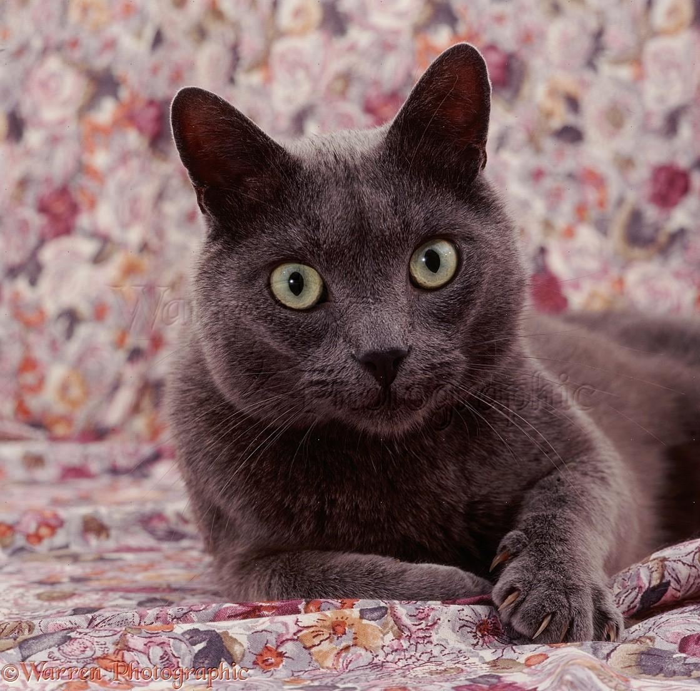 Korat cat photo WP