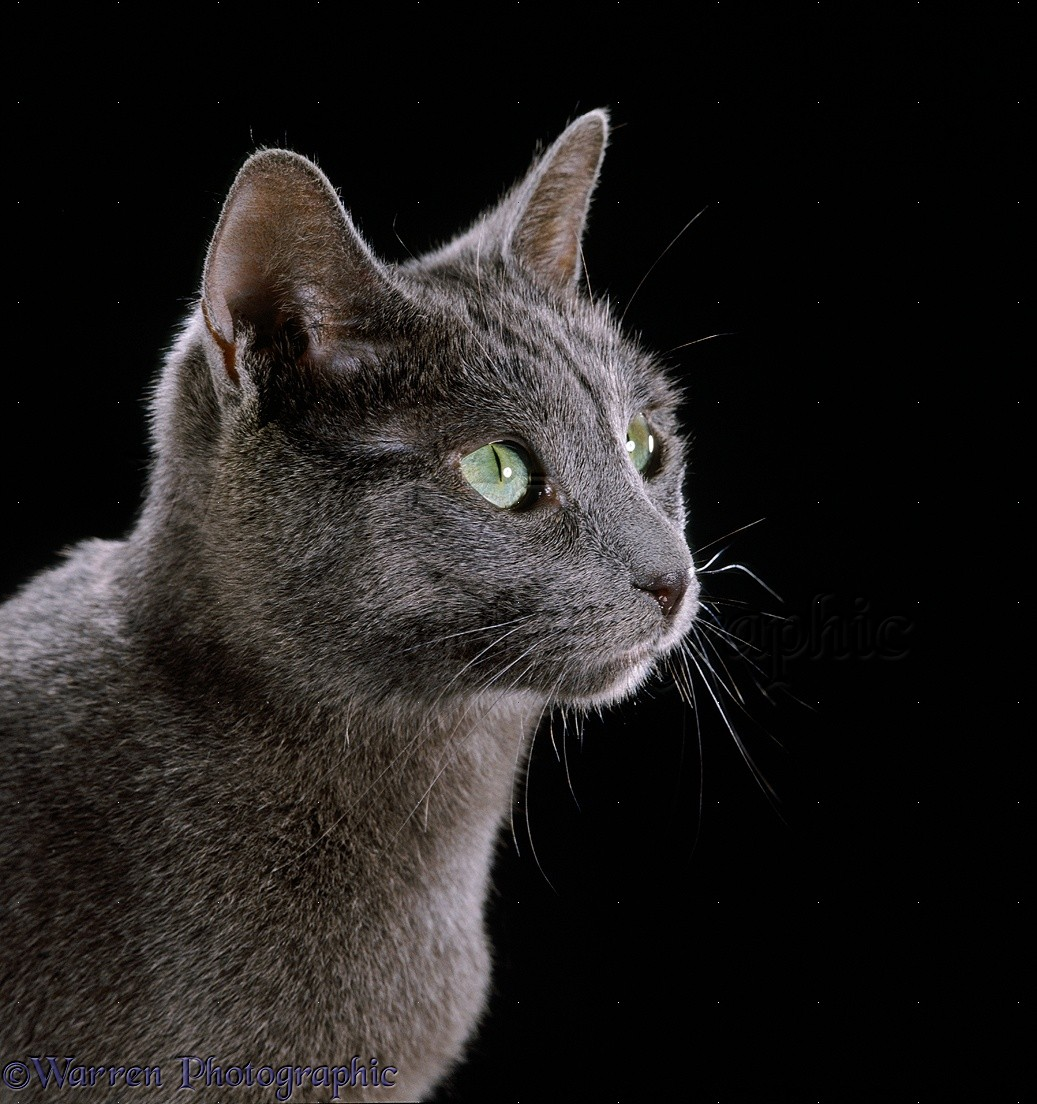 Russian Blue female cat in profile on black background photo WP