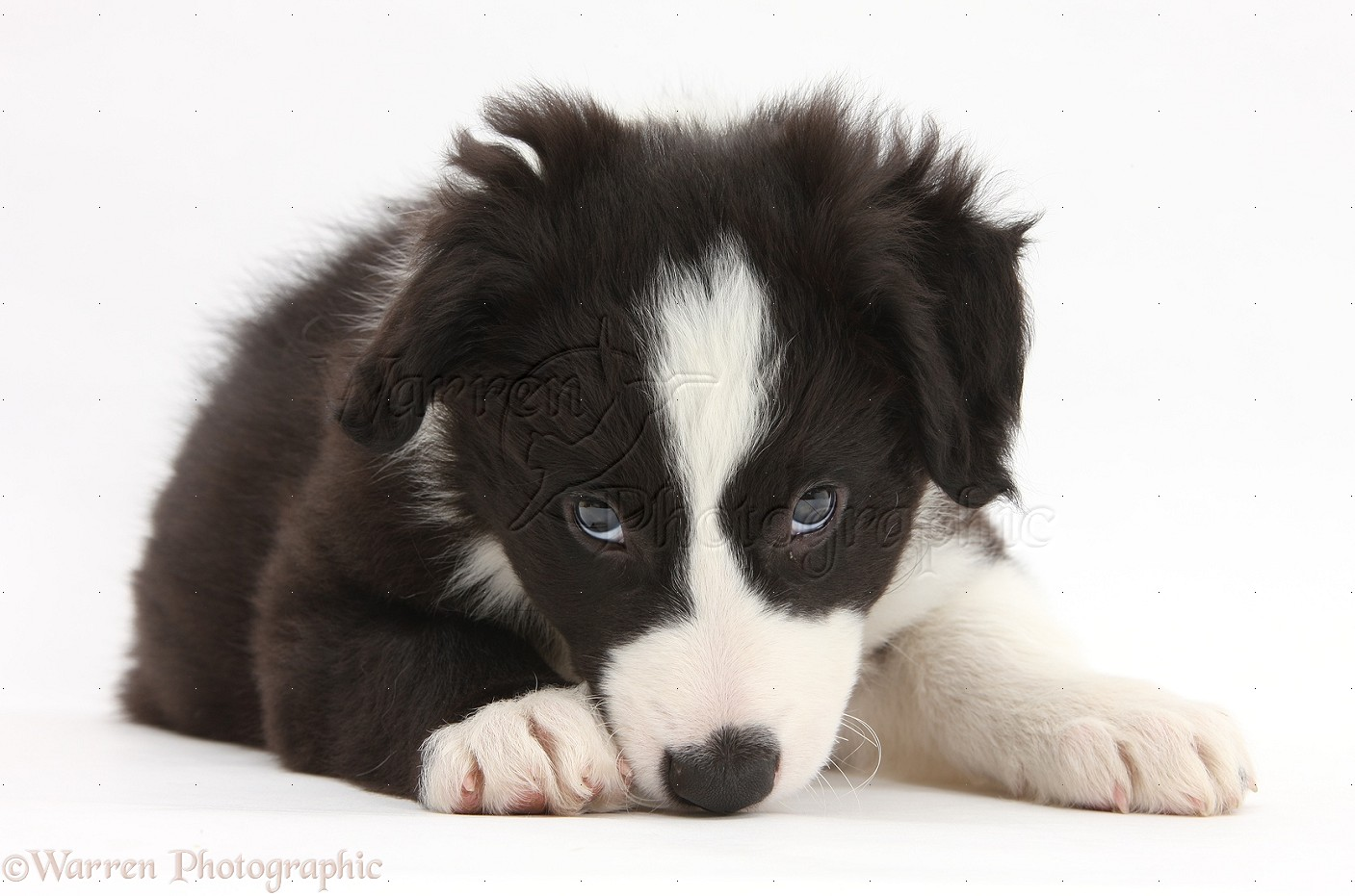 Dog black and white border collie pup photo wp35046 - Black and wait ...