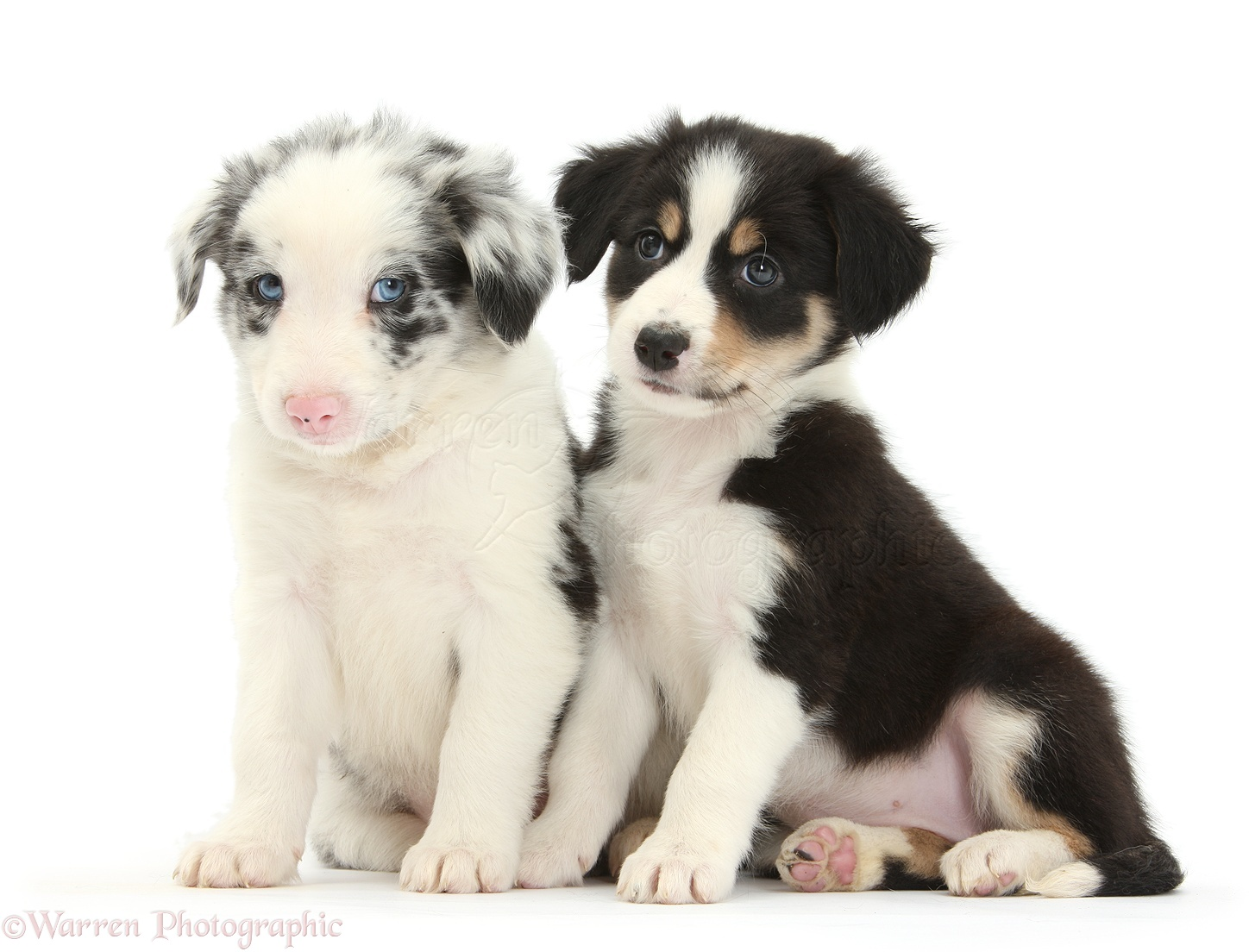 Dogs Tricolour And Merle Border Collie Puppies 6 Weeks Old Photo Wp35119