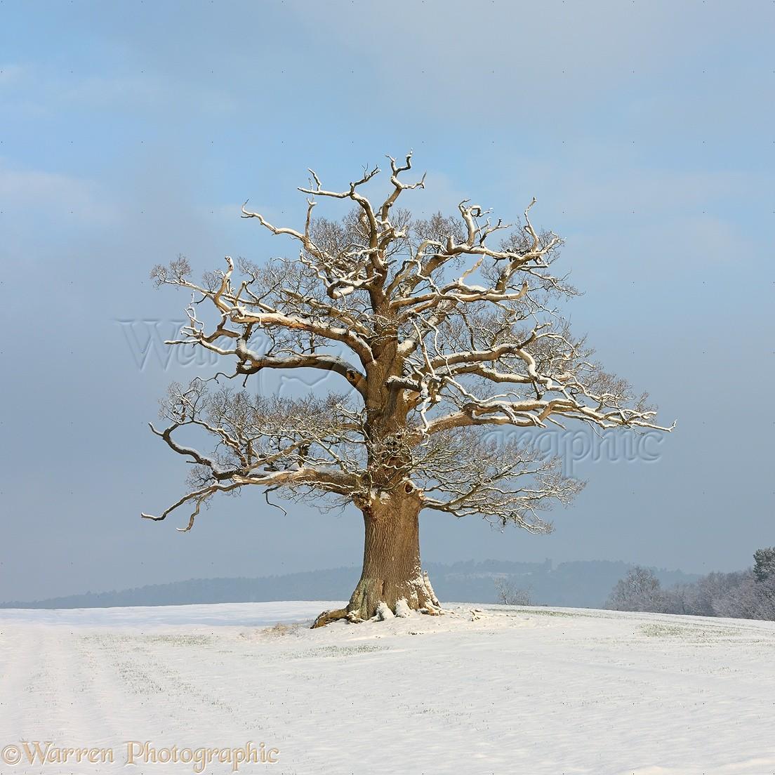 ... English Oak ( Quercus robur ) - Winter (10-2-2012). Surrey, England