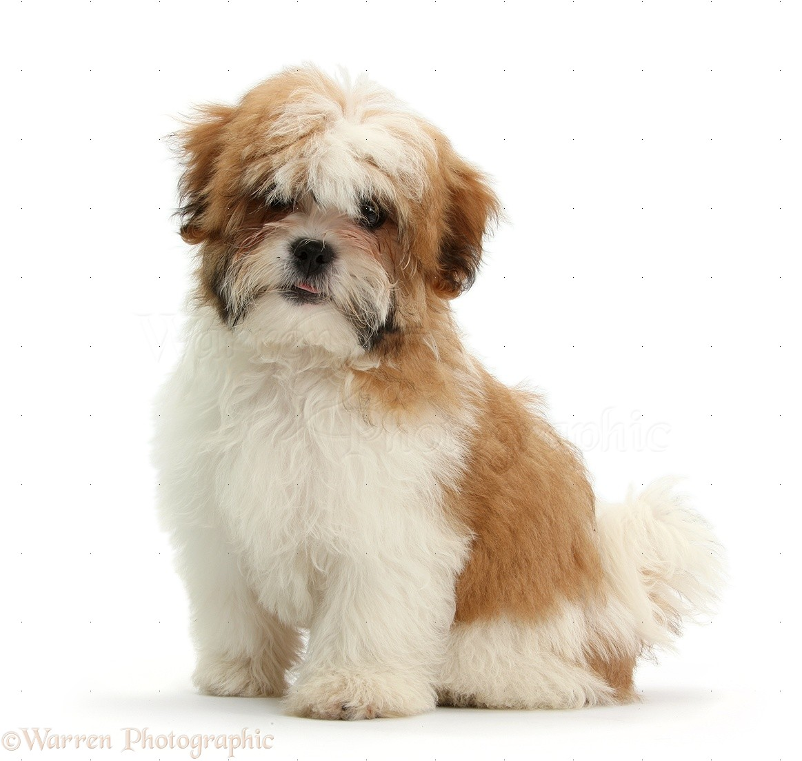 Dog Maltese X Shih Tzu Pup Photo Wp35247