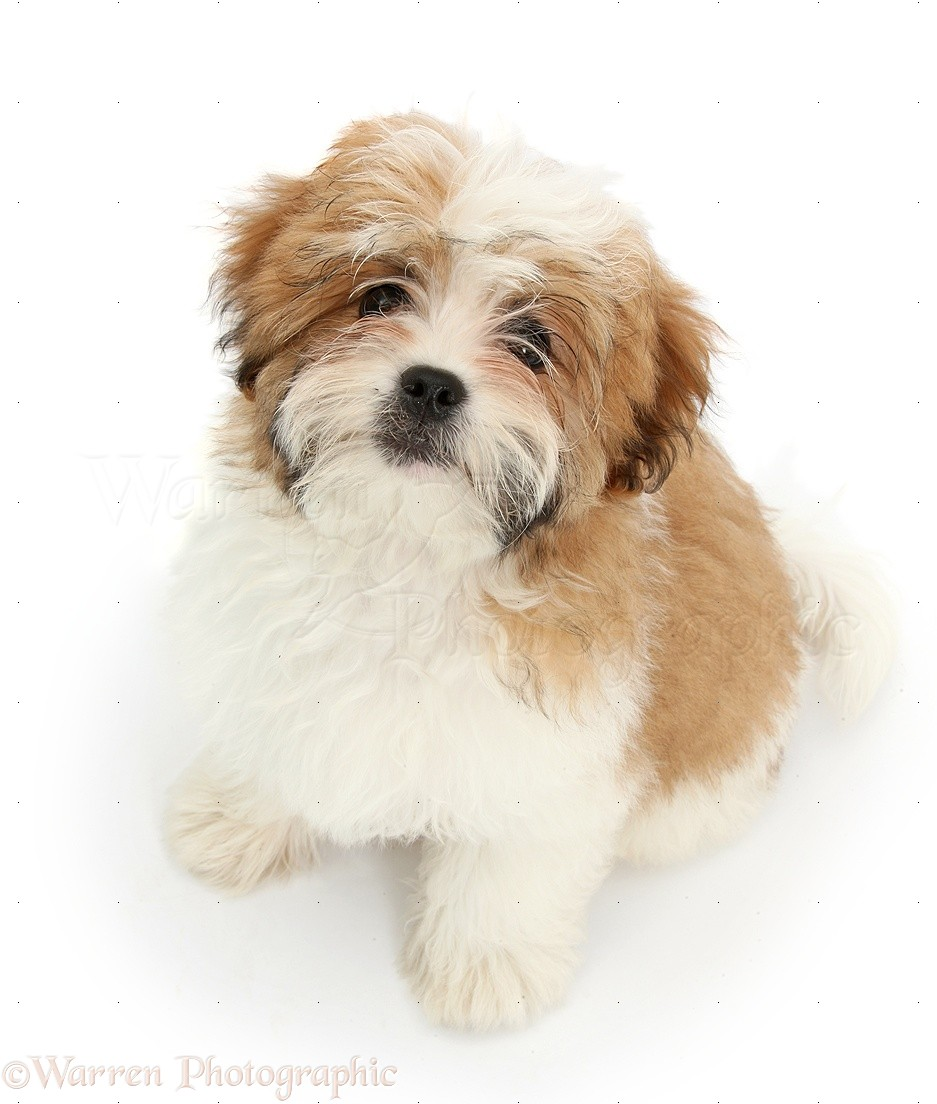 Shih of tzu puppies pictures