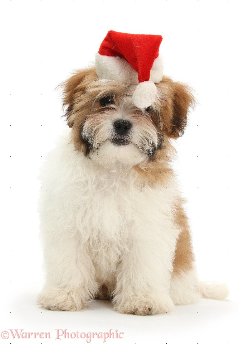 Dog Maltese X Shih Tzu Pup Wearing A Santa Hat Photo Wp35252