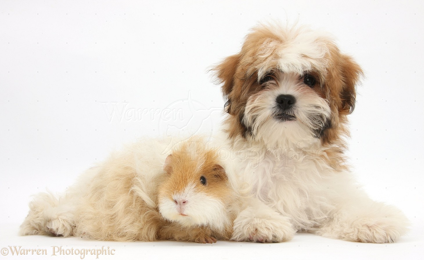 pets maltese x shih tzu pup with guinea pig photo wp35253