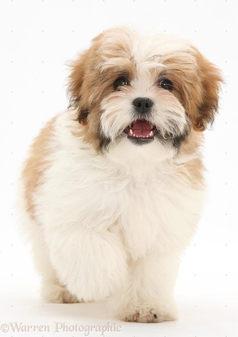 Dog Maltese X Shih Tzu Pup Photo Wp35284