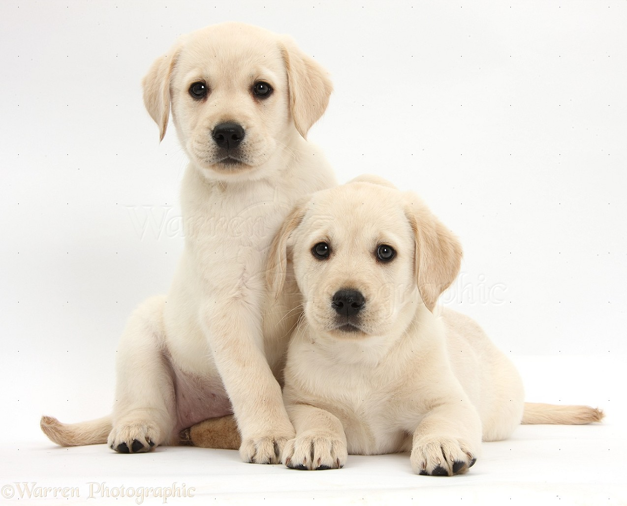 Dogs yellow labrador retriever puppies 8 weeks old photo for Dog house for labrador retriever