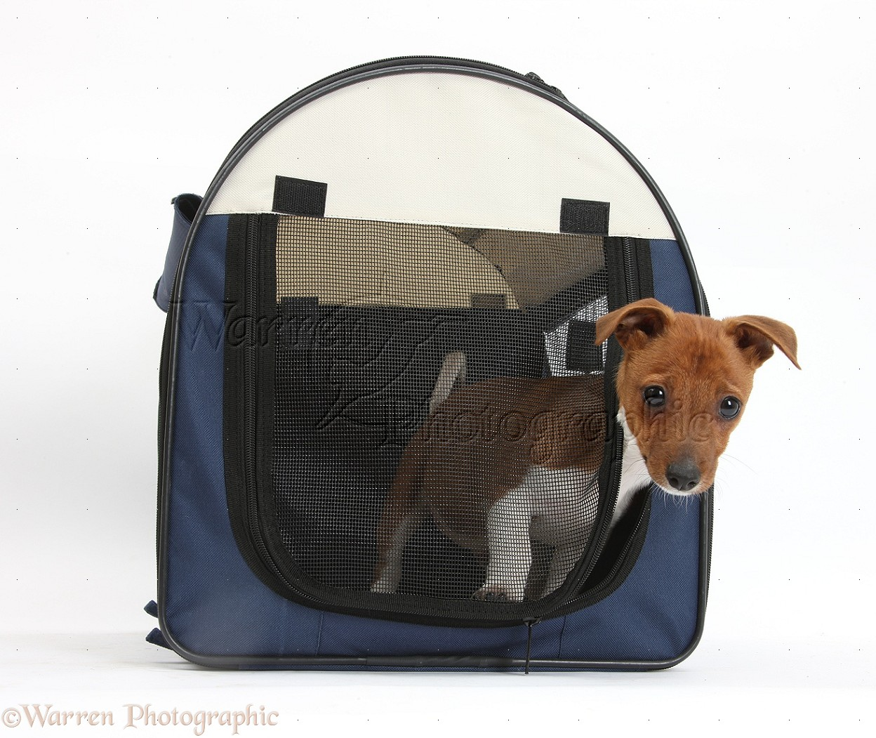 Dog With Puppies In Bag