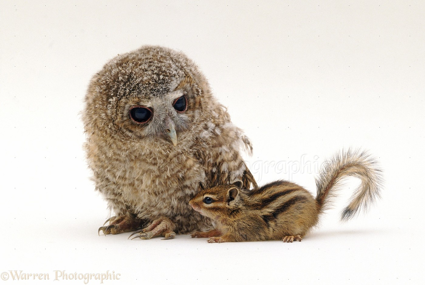 chipmunk and owlet photo wp35521