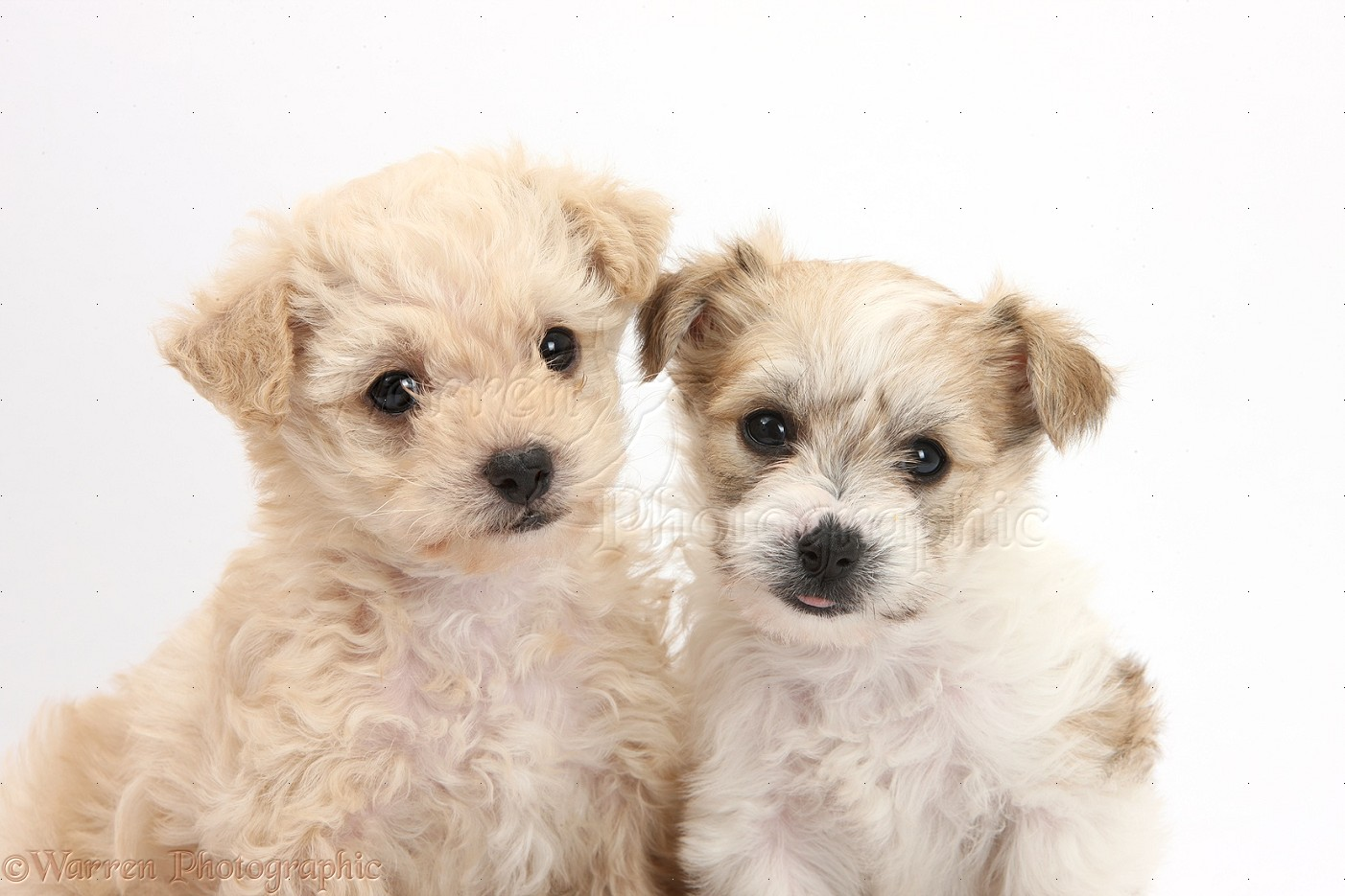 WP35531 Bichon Frisé x Yorkshire Terrier pups, 6 weeks old.
