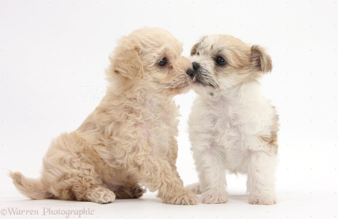 Dogs Bichon X Yorkie Pups Kissing Photo Wp35532