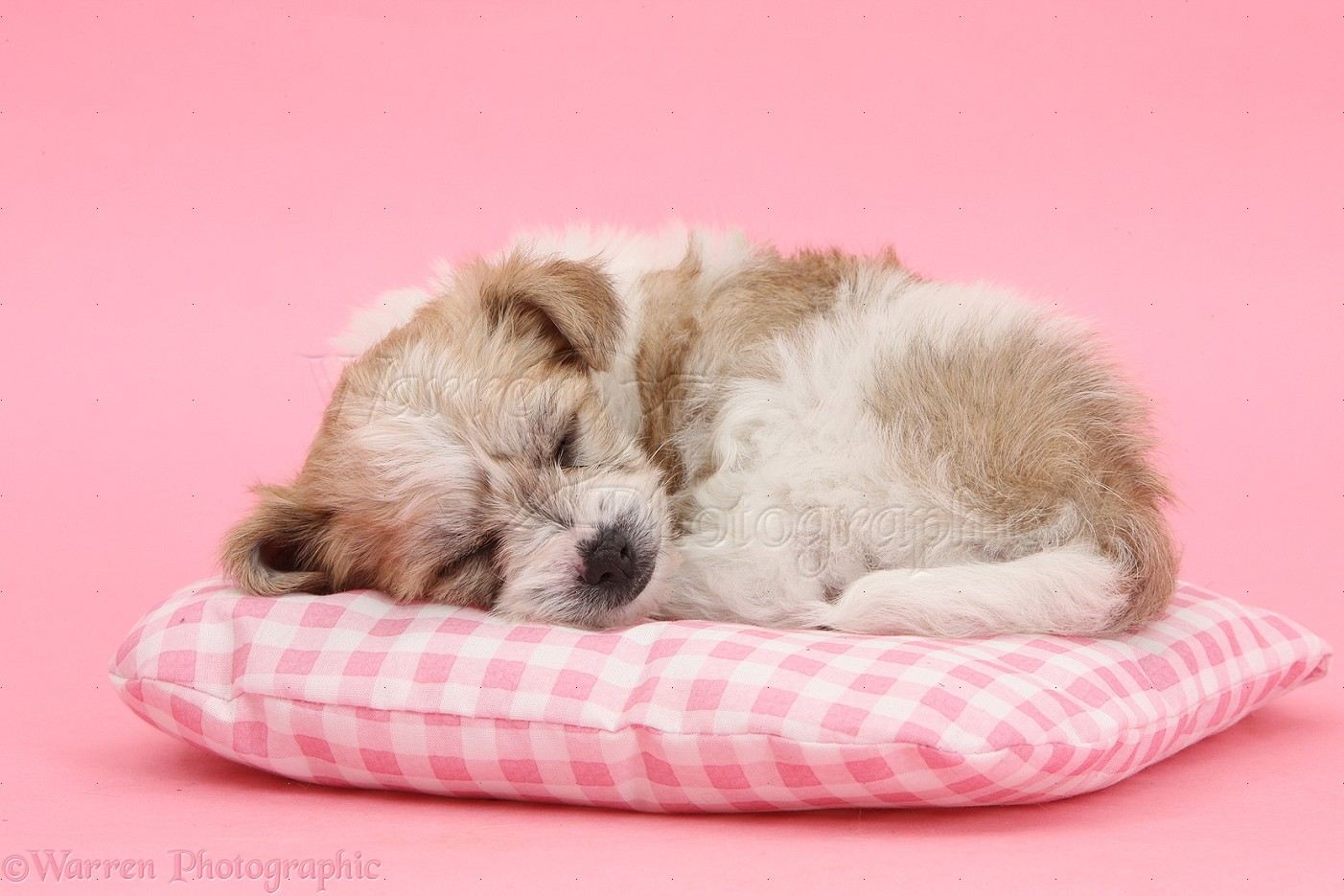 WP35547 Bichon Frisé x Yorkshire Terrier pup, 6 weeks old, asleep on ...