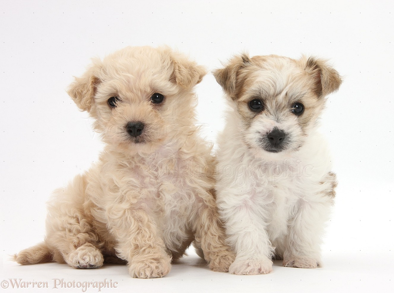 Dogs: Two cute Bichon x Yorkie pups photo - WP35554