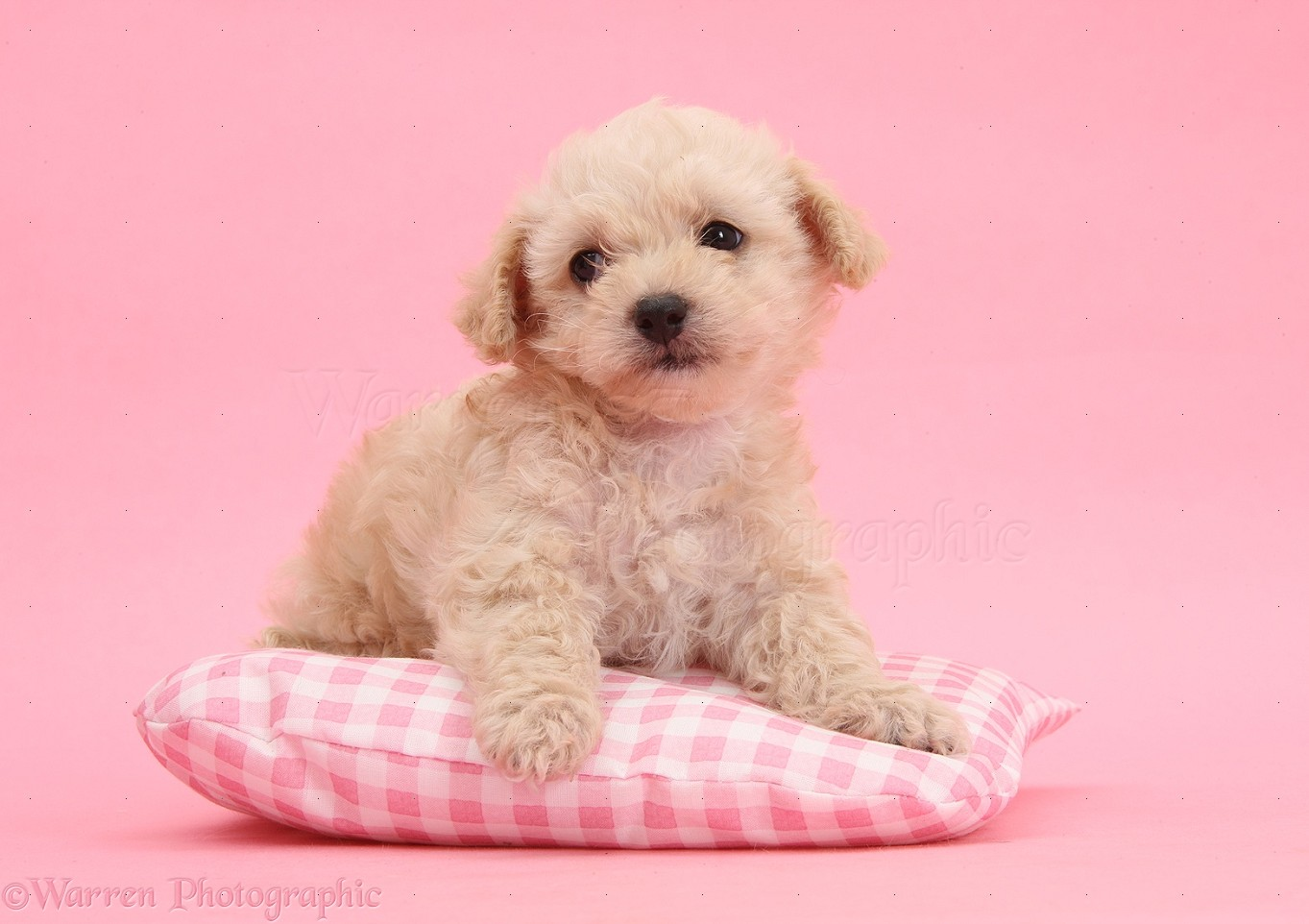 WP35558 Bichon Frisé x Yorkshire Terrier pup, 6 weeks old, lying on ...