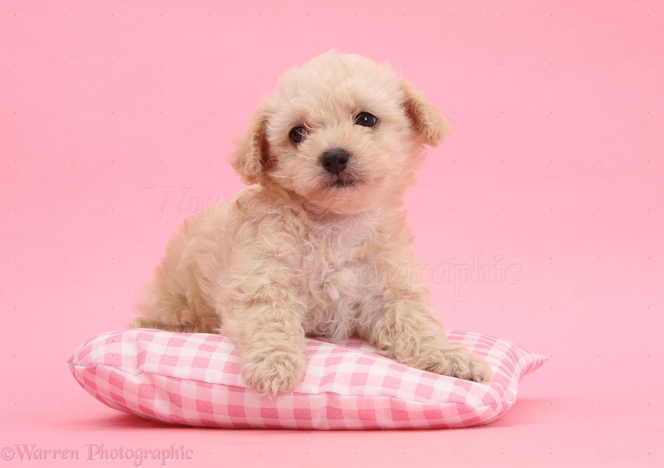 Dog Cute Bichon X Yorkie Pup On Pink Background Photo Wp35558